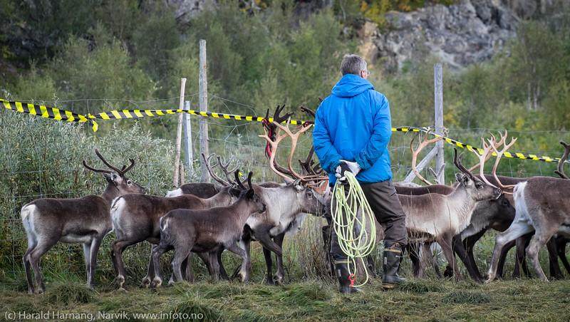 Rolig vurdering av ønsket dyr. Svenske reindriftsamer samler og slakter rein i Norddalen i Skjomen 2. og 3. september 2016.