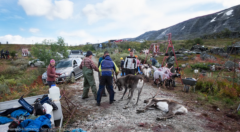Avlivingen skjer raskt og smertefritt. Og svært profesjonelt. Svenske reindriftsamer samler og slakter rein i Norddalen i Skjomen 2. og 3. september 2016.