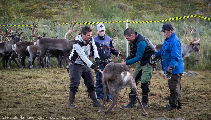 Svenske reindriftsamer samler og slakter rein i Norddalen i Skjomen 2. og 3. september 2016.