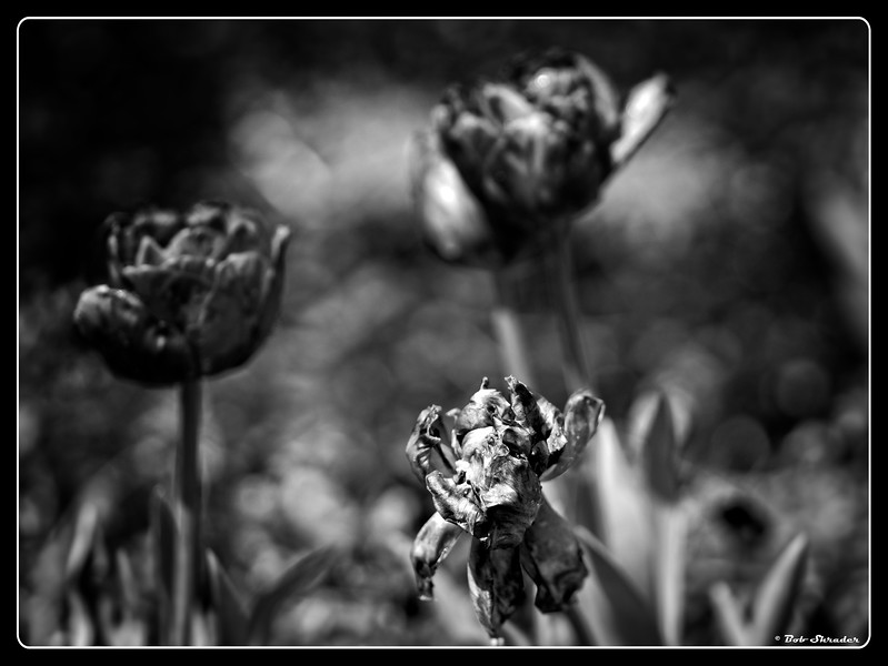 Tulips in Shallow DOF