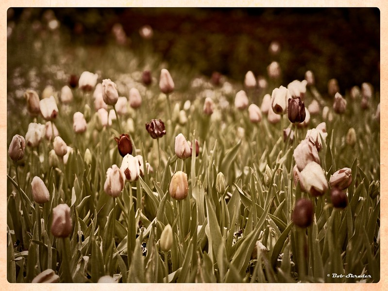 Antique texture look applied to field of tulips at the Dallas Arboretum and Botanical Garden, Dallas, Texas. Olympus PEN-F and M.Zuiko 75mm F1.8. Raw conversion and processing in ON1 Photo RAW 2017 (texture: Photomorphis - Fine Arts Presets - A Day at the Cinema).