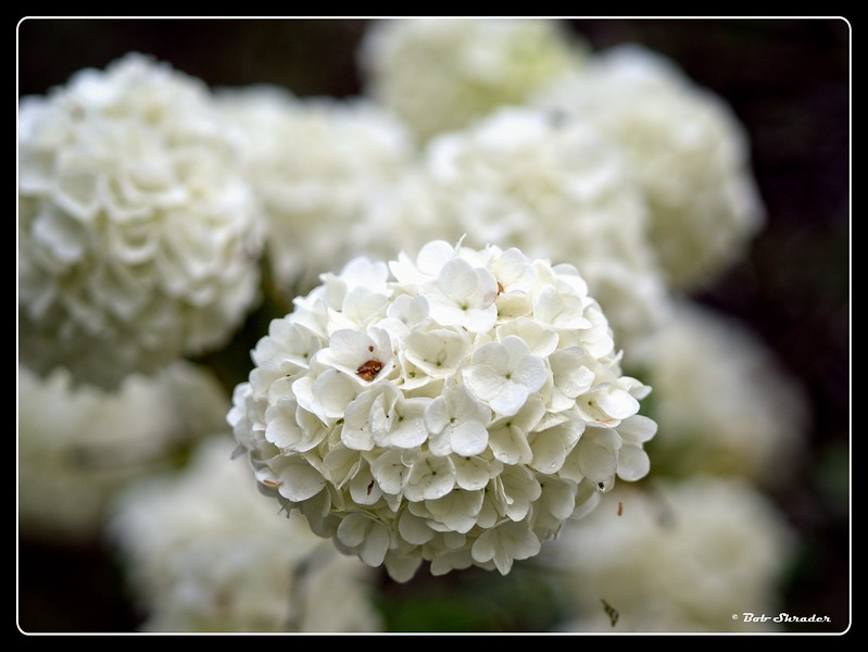 Snowballs from the Bush
