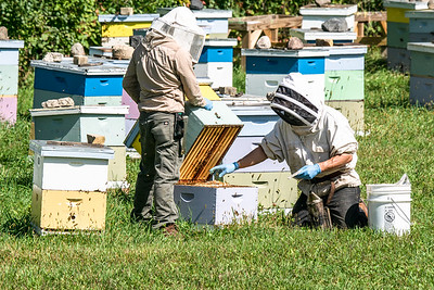 Bee Keepers checking and treating for Bee Mites