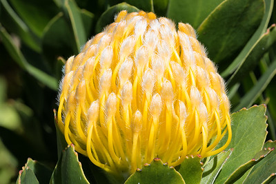 Yellow Pincushion Flower