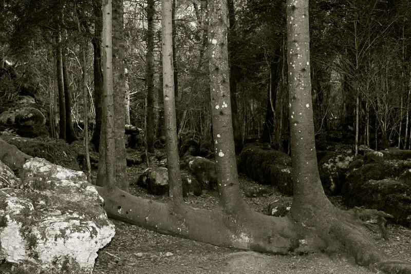 "arbre ""harpe"", Nébias, Aude"