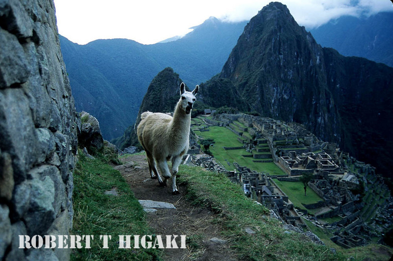 Machu Picchu; I was hugging against the wall. These llamas are known to spit if provoked.