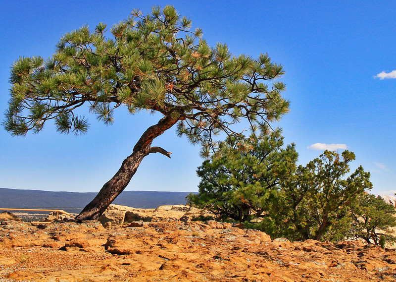 A wind-blown pine bravely hangs on.