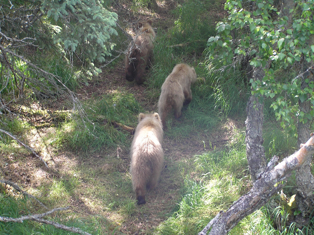 <br>A Sow and Cubs Heading for a Nap