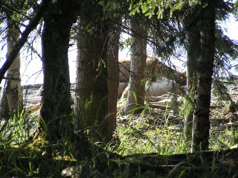 <br>A Bear Napping Near the Ranger Office at Brooks Lodge