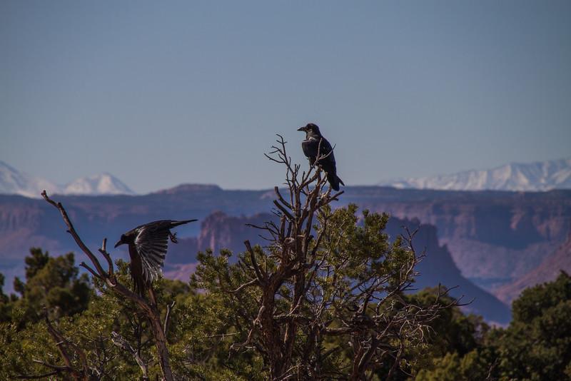 Canyonlands raven