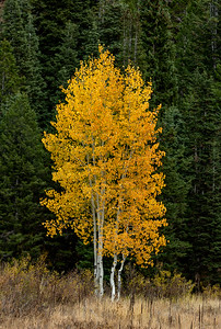Aspens against Pines