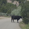 Cow on the road to Canyonlands National Park