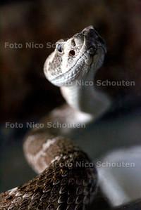 HC - SLANGEN ENZ. VAN DANNY KOUWENHOVEN - Een giftige Texaanse ratelslang - DEN HAAG 5 SEPTEMBER 2005 - FOTO NICO SCHOUTEN