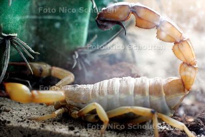 HC - SLANGEN ENZ. VAN DANNY KOUWENHOVEN - een Sahara schorpioen - DEN HAAG 5 SEPTEMBER 2005 - FOTO NICO SCHOUTEN