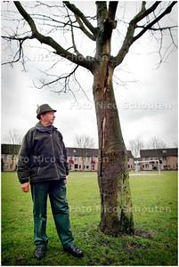 AD/HC - Rob Wiewel, voorzitter van de stichting Bomen Overlever, bij een boom die opengebarsten is door de KASTANJEZIEKTE ofwel BLOEDINGSZIEKTE (bij basisschool De Tjalk aan de Kadelaan). Hier staan zeker twintig kastanjebomen die te dode opgeschreven zijn - ZOETERMEER 10 MAART 2006 - FOTO NICO SCHOUTEN