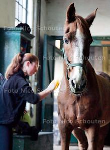 AD/HC - PAARD MAX, oudje van de Stadsmanege aan de Kazernestraat krijgt een borstelbeurt - DEN HAAG 19 OKTOBER 2006 - FOTO NICO SCHOUTEN