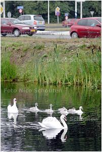 AD/HC - ZWANENFAMILIE HOEK LANDSCHEIDINGSWEG/BEZUIDENHOUTSEWEG - DEN HAAG8 JULI 2008 - FOTO NICO SCHOUTEN