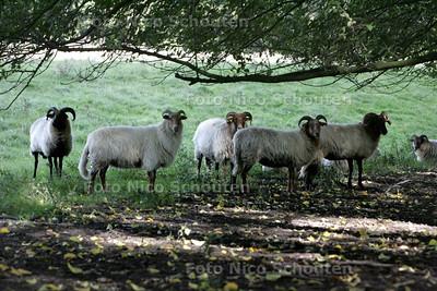 Drentse heide schapen in het Westerpark - ZOETERMEER 9 OKTOBER 2009 - FOTO NICO SCHOUTEN