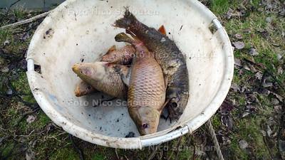 Zieke karpers vangen in de Floriadeplas - De al dode vissen gaan in een apparte emmer - ZOETERMEER 7 APRIL 2010 - FOTO NICO SCHOUTEN