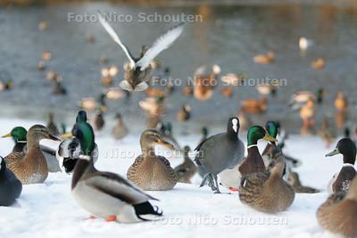 Door de strenge vorst verzamelen watervogels zoals eenden en meerkoeten zich op de weinige plekken openwater die nog overblijven zoals hier langs het Essenpad in voorburg - VOORBURG 7 JANUARI 2009 - FOTO NICO SCHOUTEN             Deze Foto Bestellen? Maak een Foto-Bestel-Email aan...           Drukwerk 60,--   Internet 30,-- Naam:    Factuuradres:    postcode/plaats:    Telefoon: