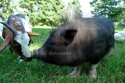 hangbuikzwijn is in Alphen gedumpt, maar heeft nu een nieuw thuis gevonden - WASSENAAR 3 AUGUSTUS 2010 - FOTO NICO SCHOUTEN