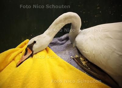 Eén van de twee zwanen die in vogelasiel De Wulp zijn opgenomen na botsing met tramleiding - DEN HAAG 6 JANUARI 2010 - FOTO NICO SCHOUTEN