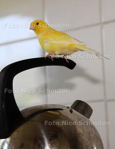 """De kanarie """"Piet"""" van Gerard Schouten die graag op de fluitketel zit - LEIDSCHENDAM 9 JUNI 2011 - FOTO NICO SCHOUTEN"""