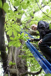 Dhr Simon Barton in de kastanjeboom die gesnoeid wordt - VOORBURG 25 APRIL 2012 - FOTO NICO SCHOUTEN