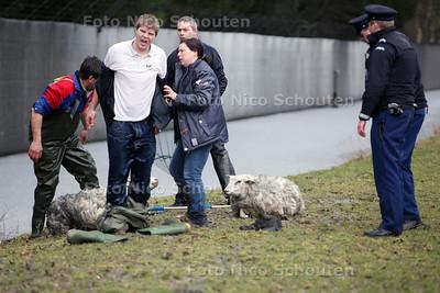 Schapen in de sloot Reigersbergen. Medewerkers van de Dierenambulance hebben twee schapen gered uit de sloot langs het landgoed van Paleis Huis ten Bosch. Agenten van de Marechaussee zagen op de beveiligingscamera's dat er iets bewoog in de sloot langs het landgoed. Bij inspectie bleek het om twee schapen te gaan. Geallarmeerde medewerkers van de Dierenambulance trotseerden het ijskoude water en hebben de schapen op het droge getrokken. Waarschijnlijk zijn de schapen in het water gejaagd door een los lopende - DEN HAAG 19 FEBRUARI 2012 - FOTO NICO SCHOUTEN