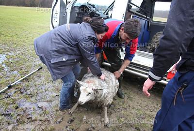 Schapen in de sloot Reigersbergen. Medewerkers van de Dierenambulance hebben twee schapen gered uit de sloot langs het landgoed van Paleis Huis ten Bosch. Agenten van de Marechaussee zagen op de beveiligingscamera's dat er iets bewoog in de sloot langs het landgoed. Bij inspectie bleek het om twee schapen te gaan. Geallarmeerde medewerkers van de Dierenambulance trotseerden het ijskoude water en hebben de schapen op het droge getrokken. Waarschijnlijk zijn de schapen in het water gejaagd door een los lopende hond - DEN HAAG 19 FEBRUARI 2012 - FOTO NICO SCHOUTEN