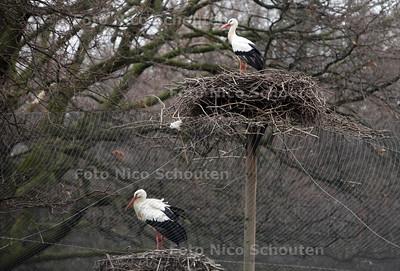 De ooievaar is weer geland op het nest dat op de Koekamp staat - DEN HAAG 29 FEBRUARI 2012 - FOTO NICO SCHOUTEN