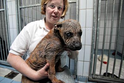 Pupje Ona met schurft bij de Dierenambulance Oosterbeek - WASSENAAR 26 MAART 2012 - FOTO NICO SCHOUTEN