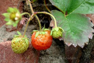 permatuin in de Schilderswijk, aardbijen - DEN HAAG 29 MEI 2012 - FOTO NICO SCHOUTEN