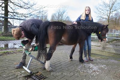 De pony's en ezels van stadsboerderij De Balijhoeve worden bekapt. Dieren met hoeven/klauwen die geen grote afstanden afleggen moeten regelmatig bekapt (geknipt) worden. Hoefsmid Isabelle verzorgt op een natuurlijke wijze de hoeven/klauwen en probeert zo weinig mogelijk stress bij de dieren te veroorzaken. Zoals hier pij pony Fleur - ZOETERMEER 14 DECEMBER 2013 - FOTOGRAAF NICO SHOUTEN