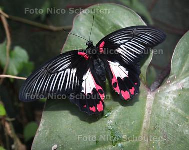 Vlinders aan de Vliet - Een Papilio Rumanzovia (Aziatische Koningspage) - LEIDSCHENDAM 13 FEBRUARI 2013 - FOTO NICO SCHOUTEN