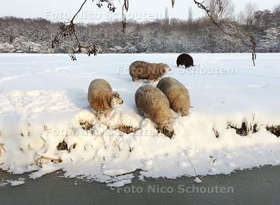 Schapen in de sneeuw. Het is lastig voor deze schapen om onder het dikke pak sneeuw vers gras te vinden. Ze moeten met hun kop door de dikke laag sneeuw drukken of gebruik maken van schaarse open plekjes langs de sloot. DEN HAAG 15 JANUARI 2013 - FOTO NICO SCHOUTEN