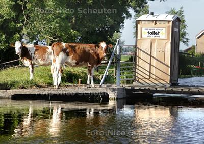Koeien wachten voor Toilet - Deze koeien zijn heel netjes opgevoed en wachten netjes op hun beurt om naar de WC te gaan - STOMPWIJK 19 JULI 2013 - FOTO NICO SCHOUTEN
