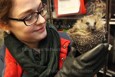 Egelopvang viert 20 jarig bestaan - Egelverzorgster Esther Langeveld met egel Mindy - ZOETERMEER 17 JANUARI 2014 - FOTOGRAAF NICO SCHOUTEN