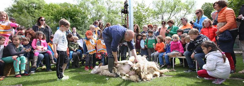 Schaapscheerfeest op stadsboerderij Reigershof  - DEN HAAG 7 MEI 2014 - FOTOGRAFIE NICO SCHOUTEN
