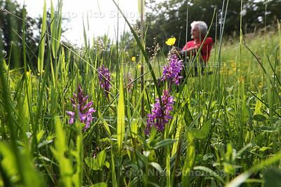 Wilde Orchidee in bloei in de Natuurtuin, Westerpark - Ep Booneman - ZOETERMEER 26 MEI 2016 - FOTO NICO SCHOUTEN