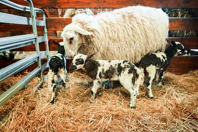 3 lammetjes geboren op het Buitenbeest - ZOETERMEER 20 MAART 2017 - FOTO NICOSCHOUTEN