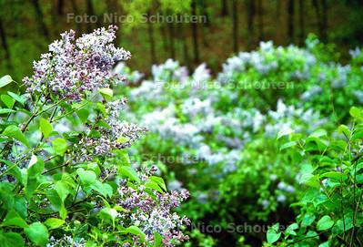BLOEIENDE SERINGEN OP DE SERINGENBERG OP DE HORSTEN; WASSENAAR 28 APRIL 2002; FOTO: NICO SCHOUTEN