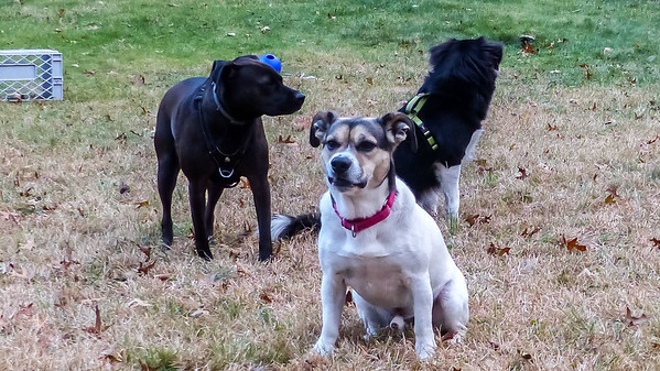 2017-11-22 Oreo, Scout, Alfie, and Morgan