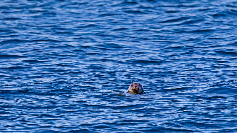 Grey seal adjacent to Rödlögaleden