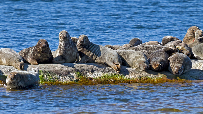 Grey seals adjacent to Rödlögaleden
