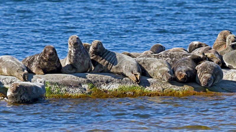 Grey seals adjacent to Rödlögaleden