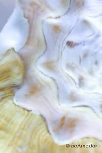 amador-seashell079-28x42-FINaeamador©-FA-Sh-med