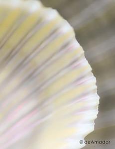 amador-seashell191-40x52-FINaeamador©-FA-Sh-med