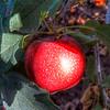HDR-flavored Washington Apple