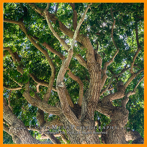 YorktownVillas_tree